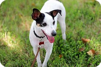 Jack Russell Terrier/Rat Terrier Mix Dog for adoption in Hagerstown, Maryland - MRS. BEASLEY