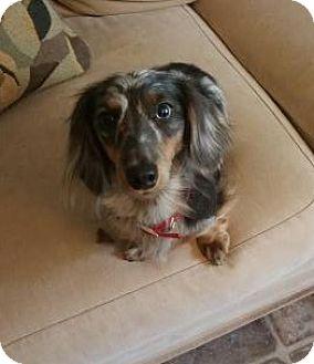 Dachshund Dog for adoption in mishawaka, Indiana - Bailey
