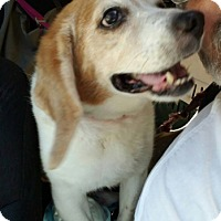 Beagle Mix Dog for adoption in Waldorf, Maryland - Snoopy Rothschild Hughes