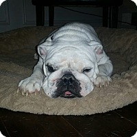 dallas bulldog rescue dallas tx english bulldog meet fiona a dog for adoption 3984
