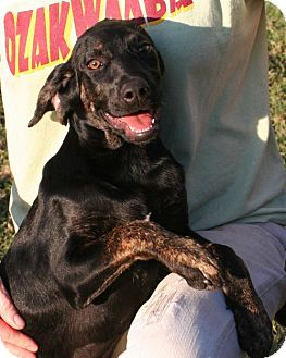 Labrador Retriever/Black and Tan Coonhound Mix Puppy for adoption in Burbank, Ohio - Nell