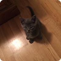 Adopt A Pet :: STORM - Golsboro, NC