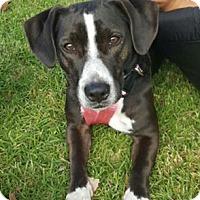 Dachshund/Beagle Mix Dog for adoption in Dana Point, California - Teeni Girl