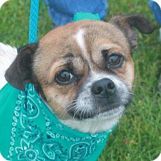 Pug Mix Dog for adoption in Garfield Heights, Ohio - Jackson-PENDING