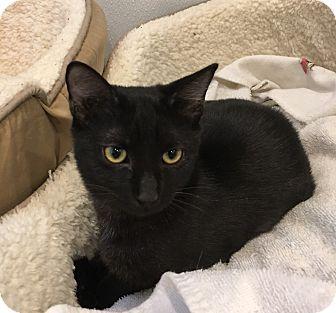 Domestic Shorthair Kitten for adoption in Randleman, North Carolina - Rosie