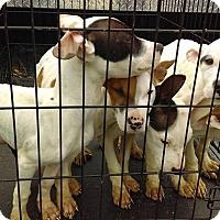 Adopt A Pet :: Litter of 4 - Claremore, OK