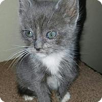Domestic Mediumhair Kitten for adoption in Monrovia, California - Toby