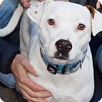 Adopt A Pet :: Marshmallow - New York, NY