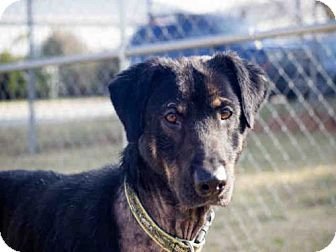 Black and Tan Coonhound Mix Dog for adoption in Lawrence, Kansas - COOPER