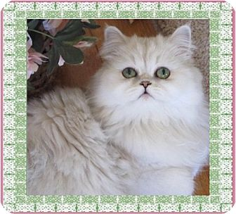Persian Cat for adoption in Glendale, Arizona - Bella