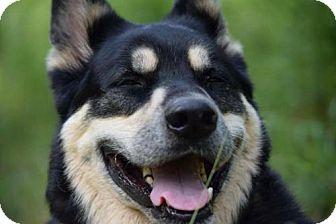 Siberian Husky/German Shepherd Dog Mix Dog for adoption in Brooklyn, New York - COURTESY POST: Boss