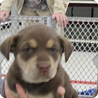 Adopt A Pet :: Shantel - Rocky Mount, NC