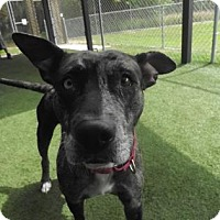 Adopt A Pet :: Cheyanne - Lakeland, FL