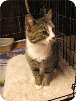 Domestic Shorthair Cat for adoption in Centerburg, Ohio - Crimson