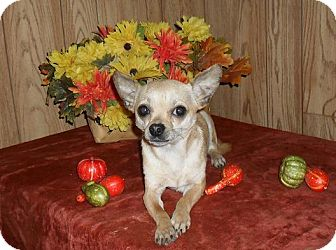 Chihuahua Dog for adoption in Chandlersville, Ohio - Sparkey