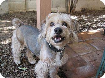 Cocker Spaniel/Poodle (Miniature) Mix Dog for adoption in Phoenix, Arizona - Randy