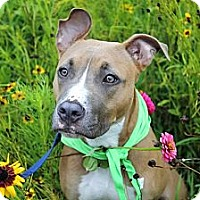 Adopt A Pet :: Violet - Reisterstown, MD