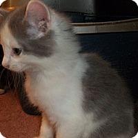 Adopt A Pet :: Skiddles - Acme, PA