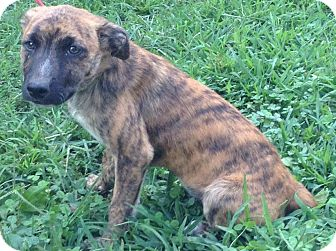 Catahoula Leopard Dog/Cattle Dog Mix Puppy for adoption in Washington ...