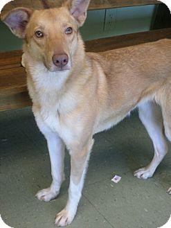 Australian Shepherd/Collie Mix Dog for adoption in Cleveland, Mississippi - Aurora +