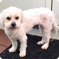 Adopt A Pet :: Jenny - Atlanta, GA