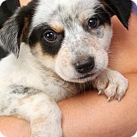 Adopt A Pet :: Paul HeelerMix - St. Louis, MO