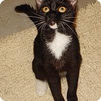 Adopt A Pet :: HARMONY - PRETTY ORPHAN TUXEDO - Plano, TX