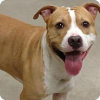 Adopt A Pet :: KGAC Shelter #8-2-16-1 Chevy - Fredericksburg, VA