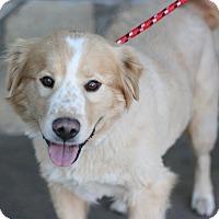 Adopt A Pet :: Duke - Canoga Park, CA