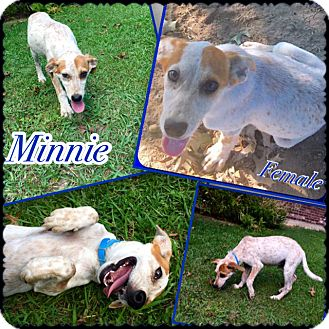 Hound (Unknown Type) Mix Puppy for adoption in Manchester, Connecticut - Minnie in CT