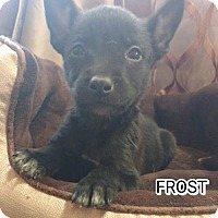 Husky/Shepherd (Unknown Type) Mix Puppy for adoption in Denver, Colorado - Frost