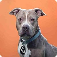 Pit Bull Terrier Dog for adoption in Bonita, California - BIRDIE