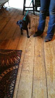 Chihuahua/Dachshund Mix Puppy for adoption in Demorest, Georgia - Wilbur