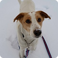 Beagle/Italian Greyhound Mix Dog for adoption in Barrie, Ontario - Marlee