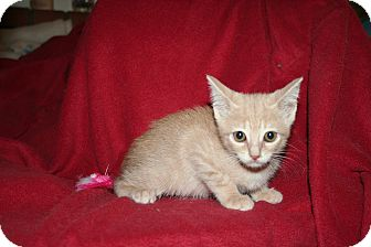 Domestic Shorthair Kitten for adoption in Santa Rosa, California - Destiny
