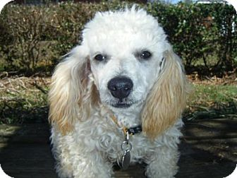 Poodle (Miniature) Puppy for adoption in Mooy, Alabama - Beau