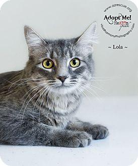 Domestic Mediumhair Cat for adoption in Phoenix, Arizona - Lola