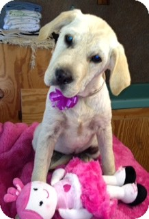 Spaniel (Unknown Type)/Labrador Retriever Mix Puppy for adoption in Greenville, Rhode Island - Molly-Urgent