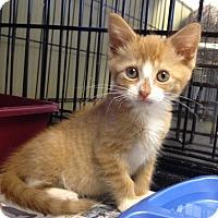 Adopt A Pet :: Tango - Island Park, NY