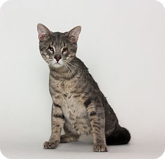 Domestic Shorthair Cat for adoption in Stockton, California - Orion