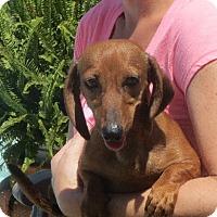 Adopt A Pet :: Ursula - Westport, CT