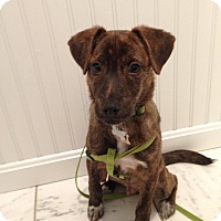 Adopt A Pet :: Bailey (In New England) - Plainfield, CT