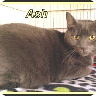 Manx Cat for adoption in Berkeley Springs, West Virginia - Ash
