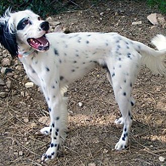 English Setter Dog for adoption in New Braunfels, Texas - Cecil