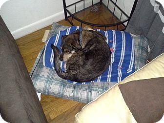 Australian Shepherd/Beagle Mix Dog for adoption in kennebunkport, Maine - Dallas-in Maine, Courtesy Post