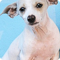 Adopt A Pet :: Ziggy - Yuba City, CA