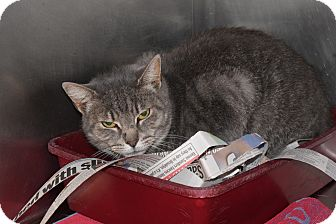 Domestic Shorthair Cat for adoption in Bay Shore, New York - Agnes