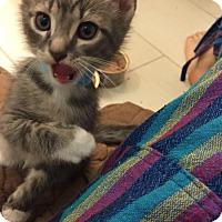 Domestic Shorthair Kitten for adoption in Philadelphia, Pennsylvania - Orion