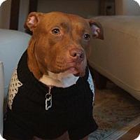 American Pit Bull Terrier Mix Dog for adoption in Edina, Minnesota - Ginger D141198: PENDING ADOPTION