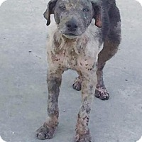 Australian Cattle Dog Dog for adoption in New York, New York - Peyton